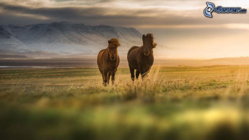 brązowe konie, pole