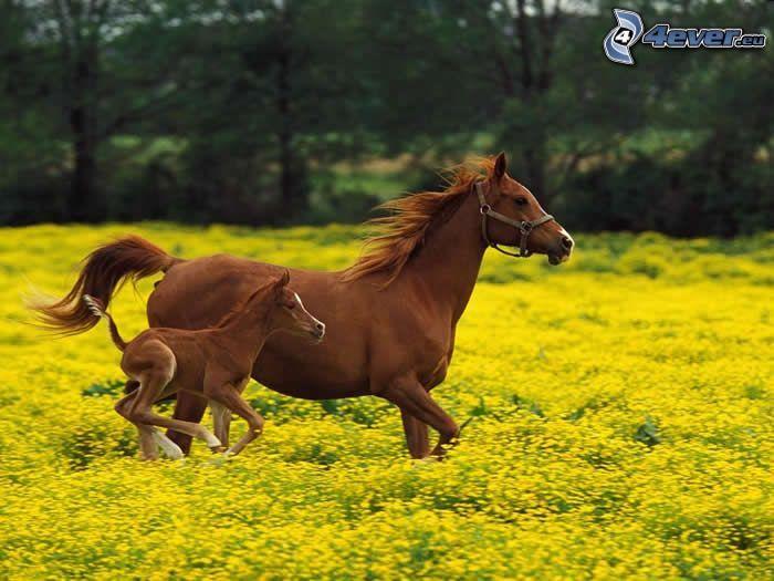 brązowe konie, źrebię, bieg, łąka, żółte kwiaty