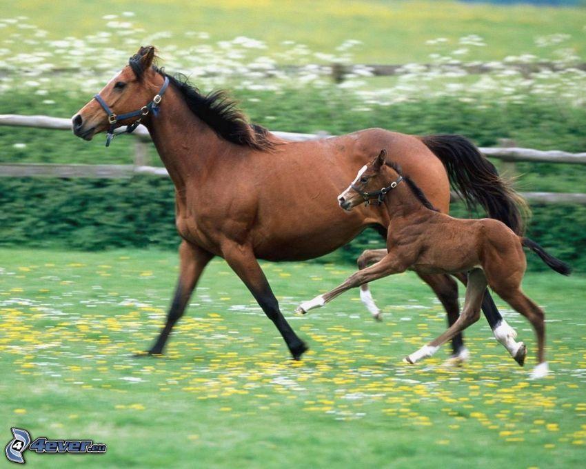 brązowe konie, źrebię, bieg, ogrodzenie