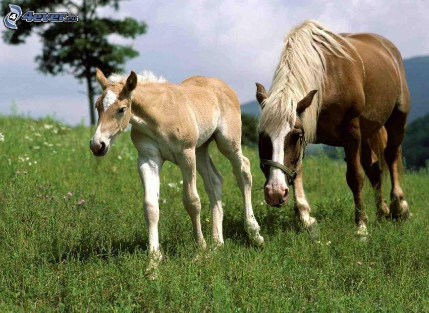 brązowe konie, źrebię, łąka