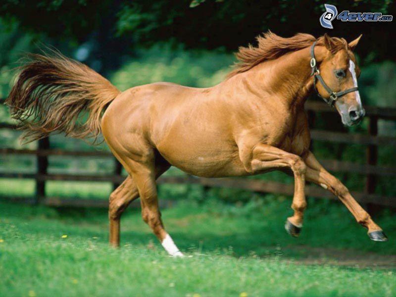 brązowy koń, galop, trawa