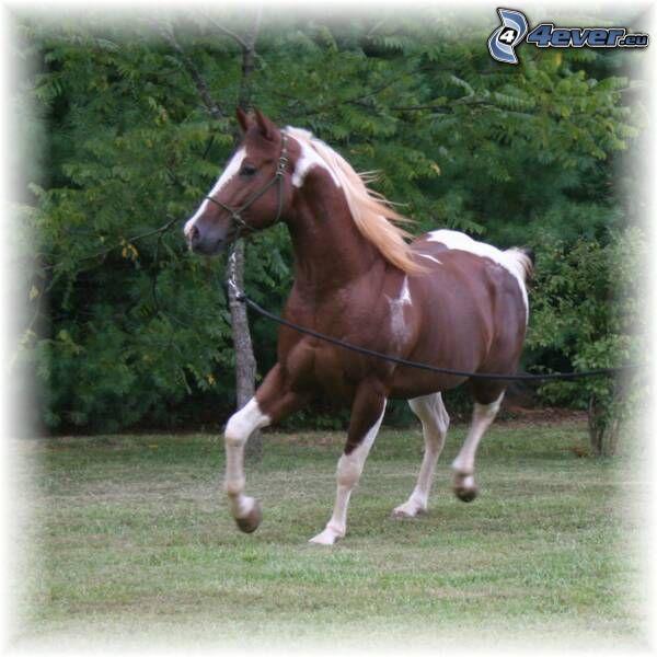 brązowy koń, galop
