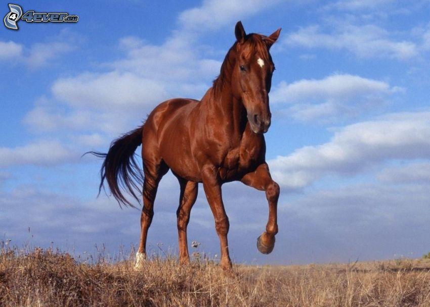 brązowy koń, sucha trawa