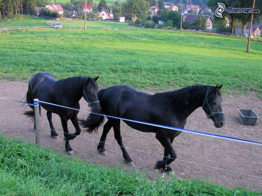 czarne konie, ogrodzenie