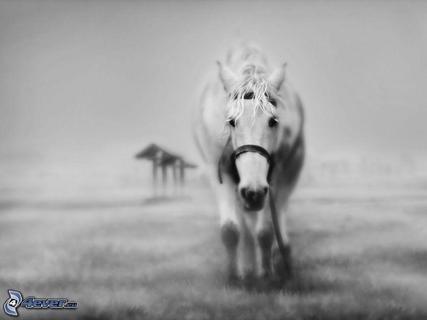 koń, czarno-białe zdjęcie