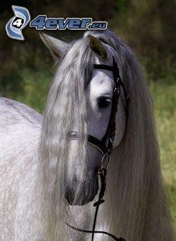 koń, kucyk