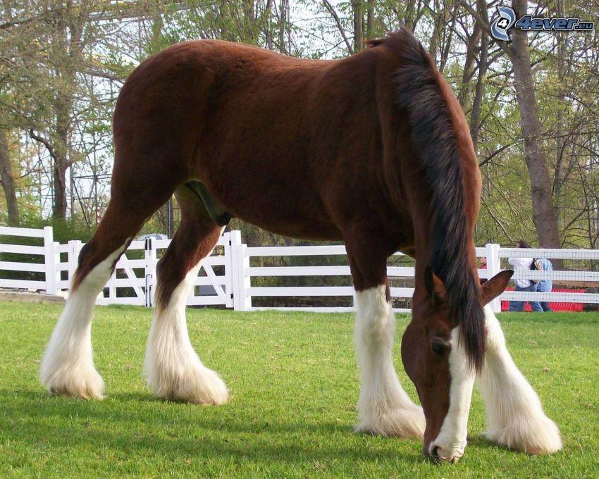 koń pociągowy, brązowy koń, zielona trawa, ogrodzenie