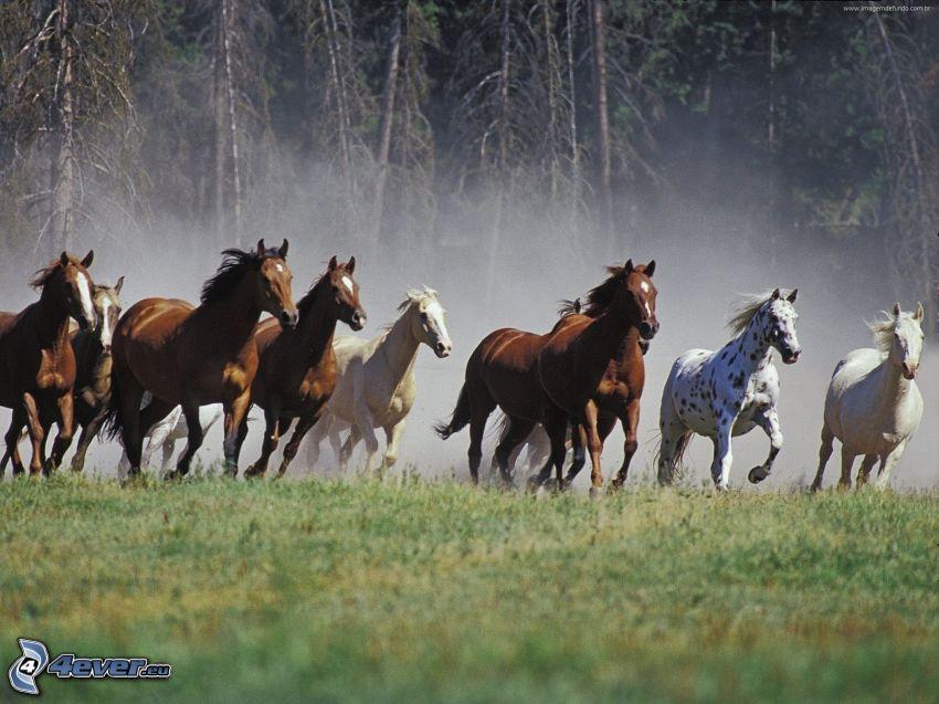konie, bieg, pył, las