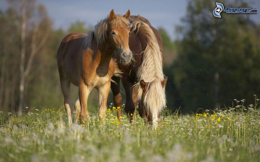 konie, łąka, kwiaty