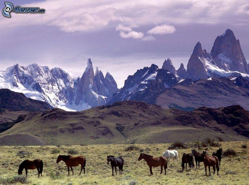konie, łąka, zaśnieżone góry
