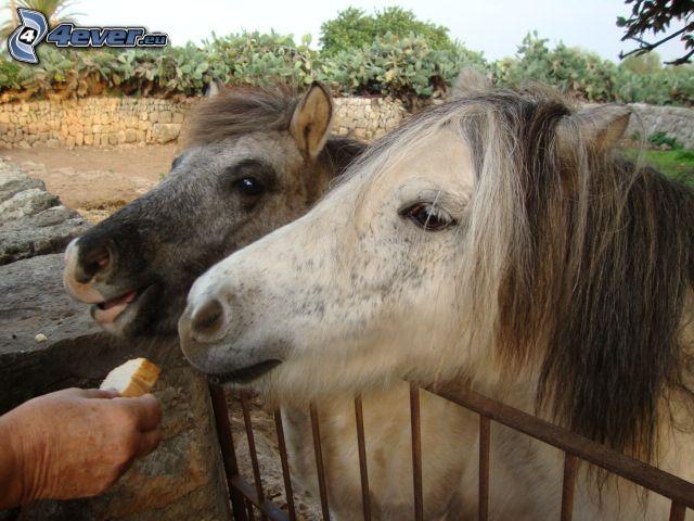 konie, płot, ręka