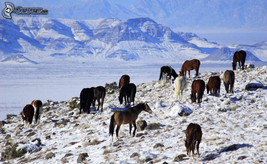 konie, śnieżny krajobraz