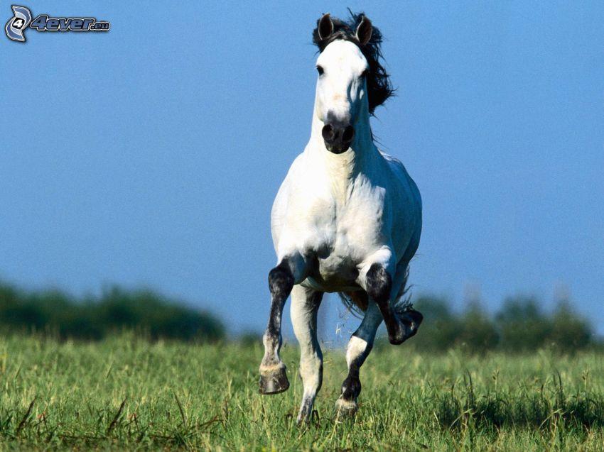 konie w galopie, biały koń