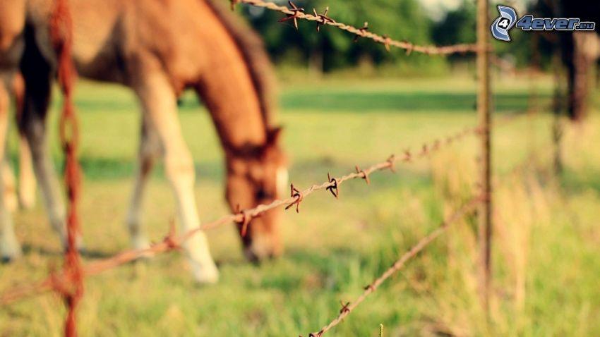 ogrodzenie z drutu, drut kolczasty, brązowy koń