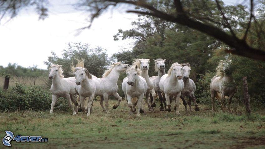 stado koni, białe konie, bieg