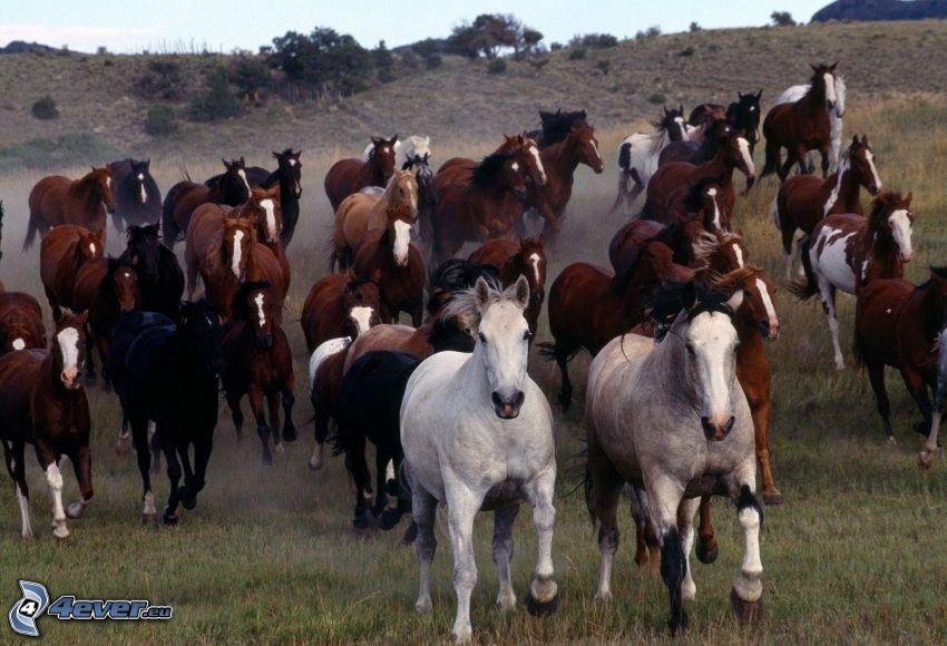 stado koni, bieg, brązowe konie, białe konie, czarne konie