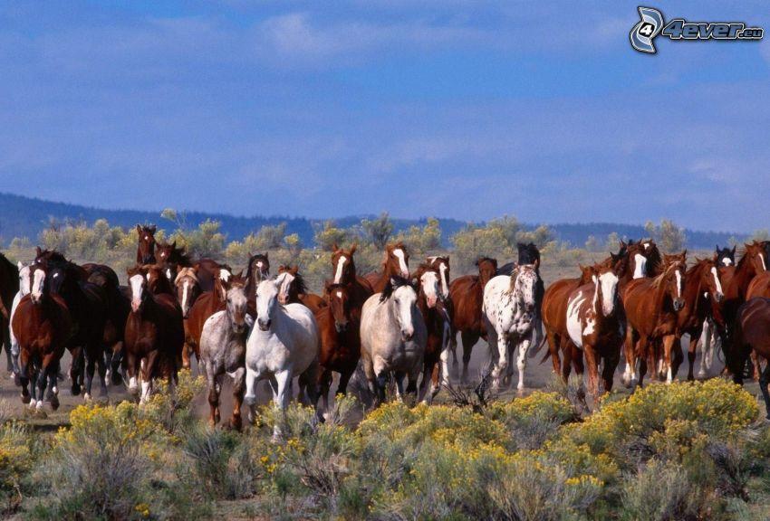 stado koni, brązowe konie, białe konie, żółte kwiaty