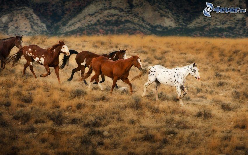stado koni, brązowe konie, biały koń, sucha trawa
