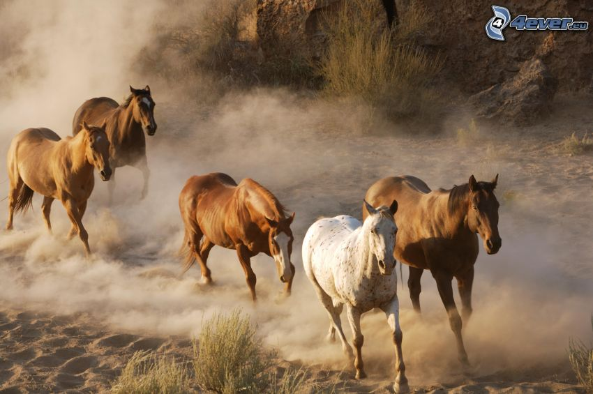 stado koni, brązowe konie, bieg, pył, piasek