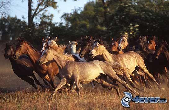 stado koni, łąka, bieg