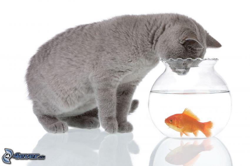 kot brytyjski, złota rybka