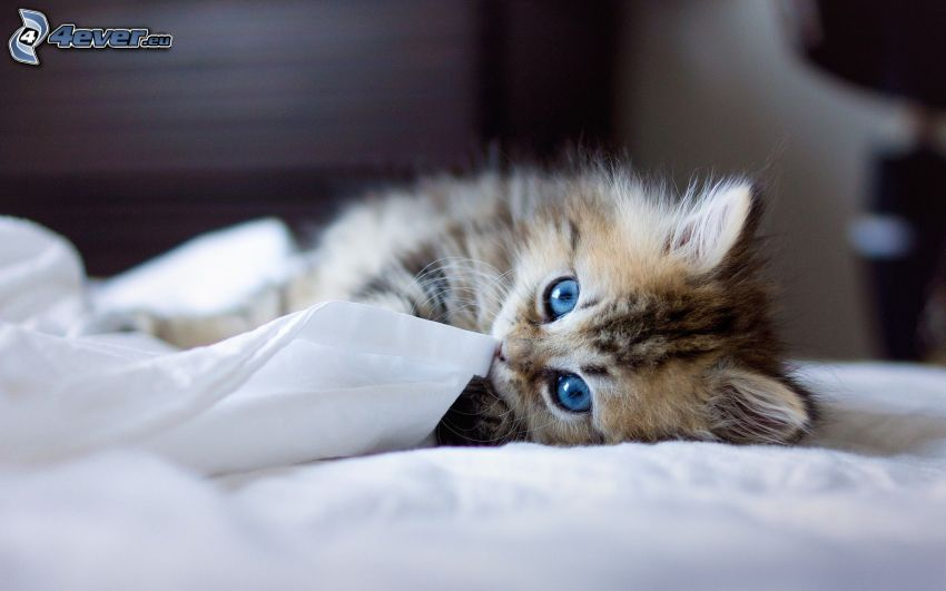 kotek, niebieskie oczy