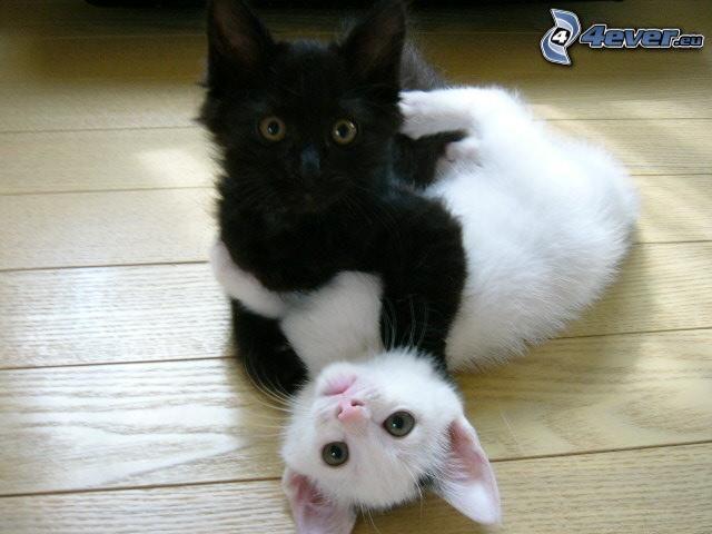bawiące się kocięta, Mały biały kotek, czarny kotek
