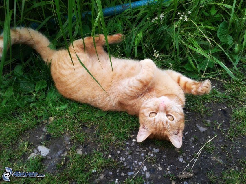 bawiący się kotek, rudy kot, trawa