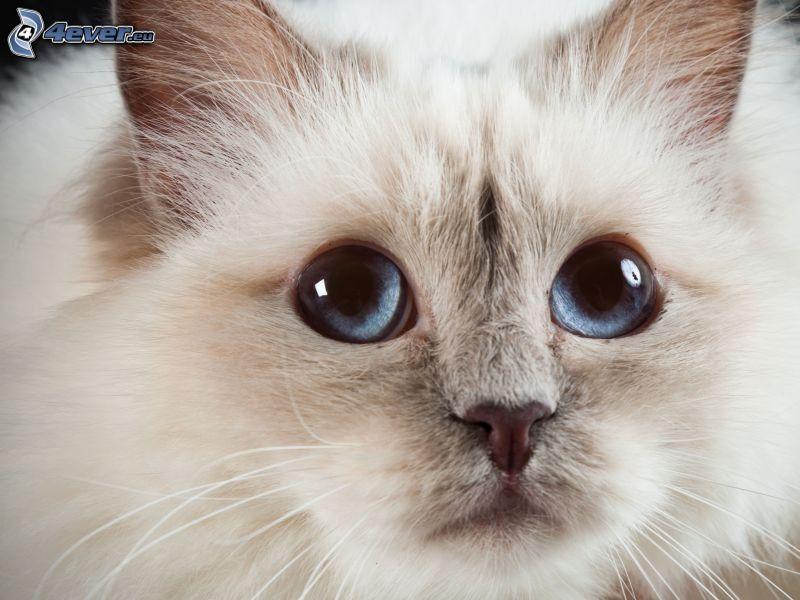 biały kot, niebieskie oczy