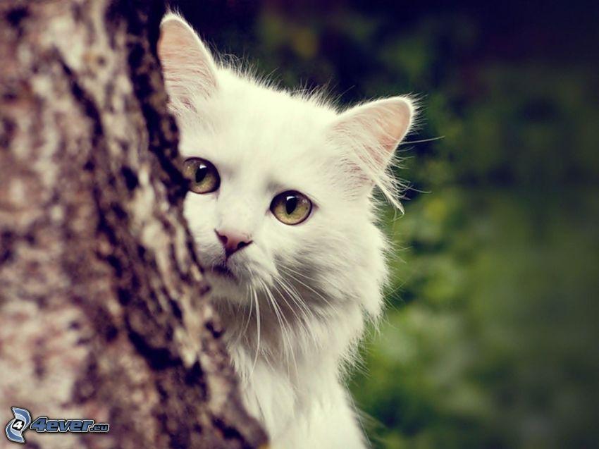 biały kot, plemię