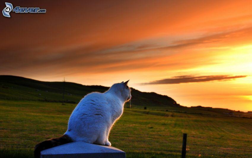 biały kot, pomarańczowy zachód słońca