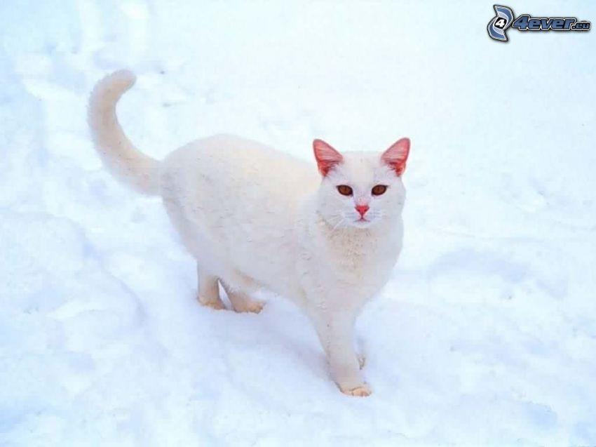 biały kot, śnieg