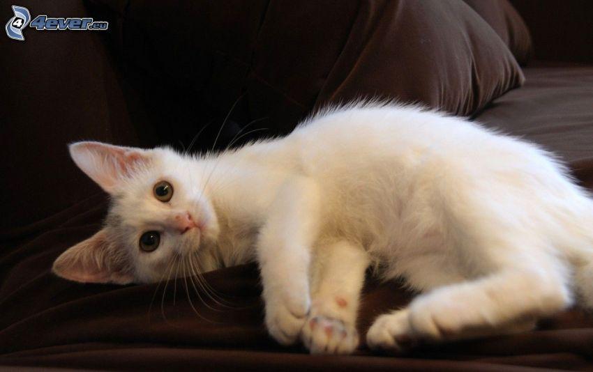 biały kot, sofa