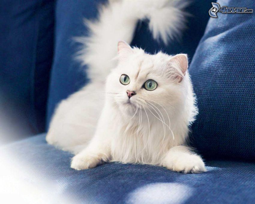 biały kot, spojrzenie