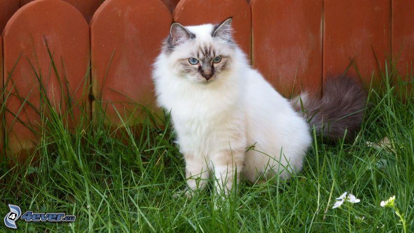 biały kot, trawa, płot