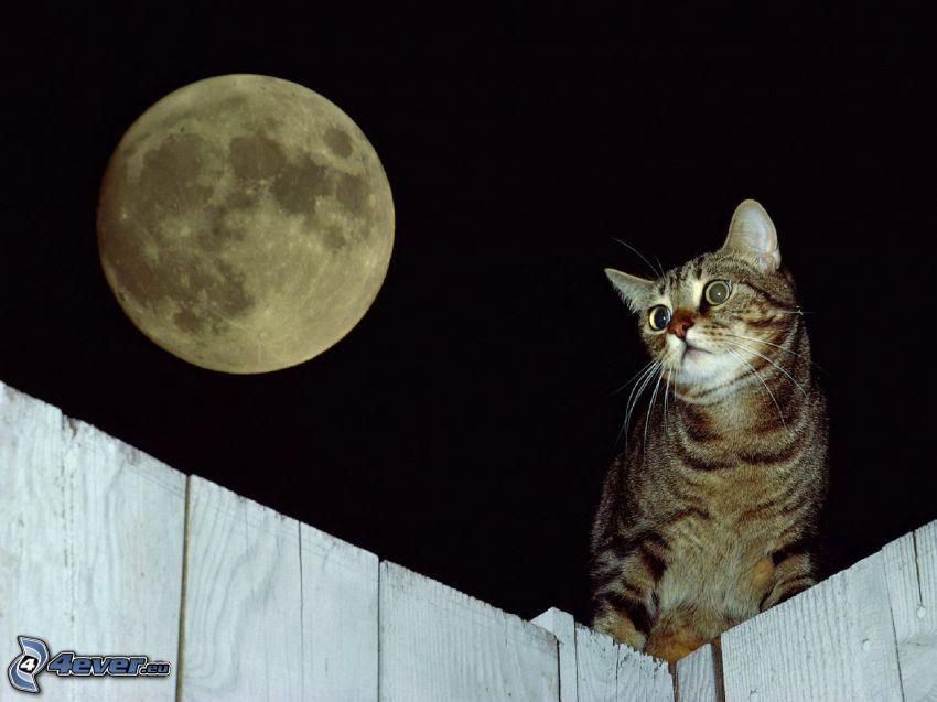 brązowy kot, księżyc, drewniany płot