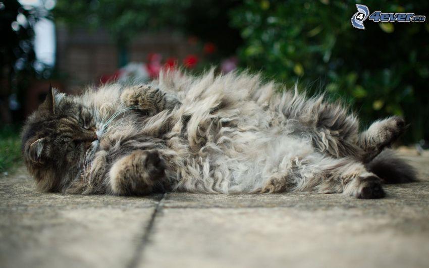 brązowy kot, leniwy kot