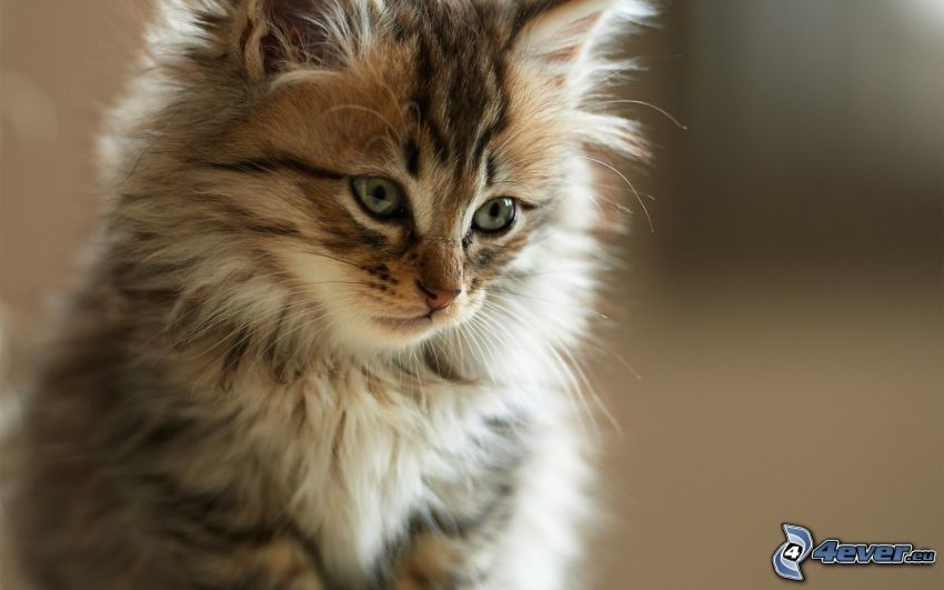 brązowy kotek