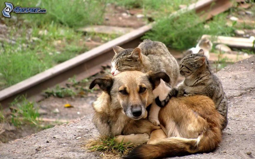 brązowy pies, koty