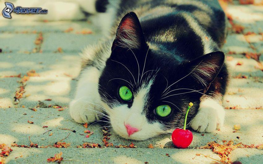 czarno-biały kot, chodnik, czereśnia
