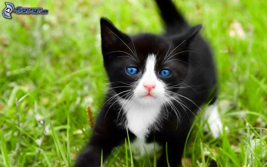 czarno-biały kotek, trawa, niebieskie oczy