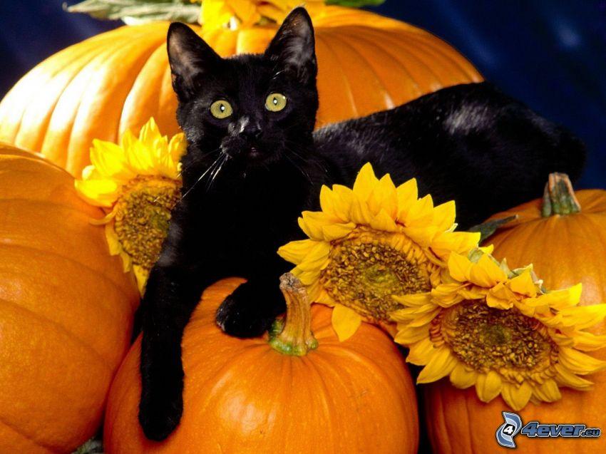 czarny kot, dynie, słoneczniki