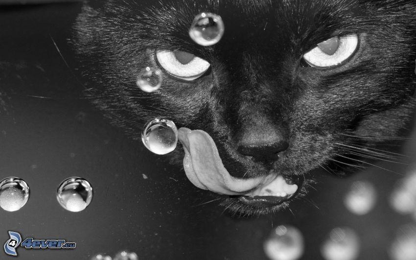 czarny kot, język, krople wody
