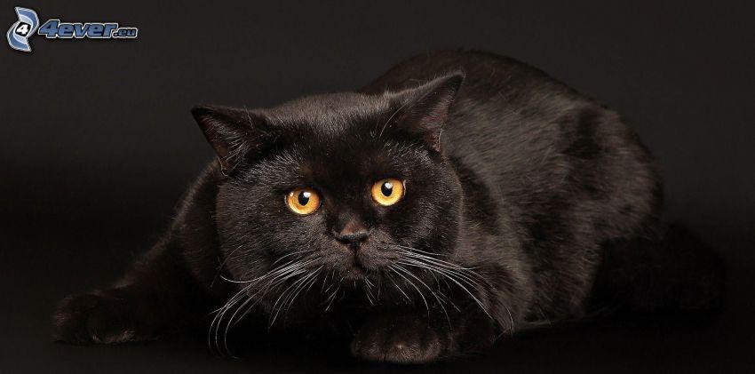 czarny kot, spojrzenie kota