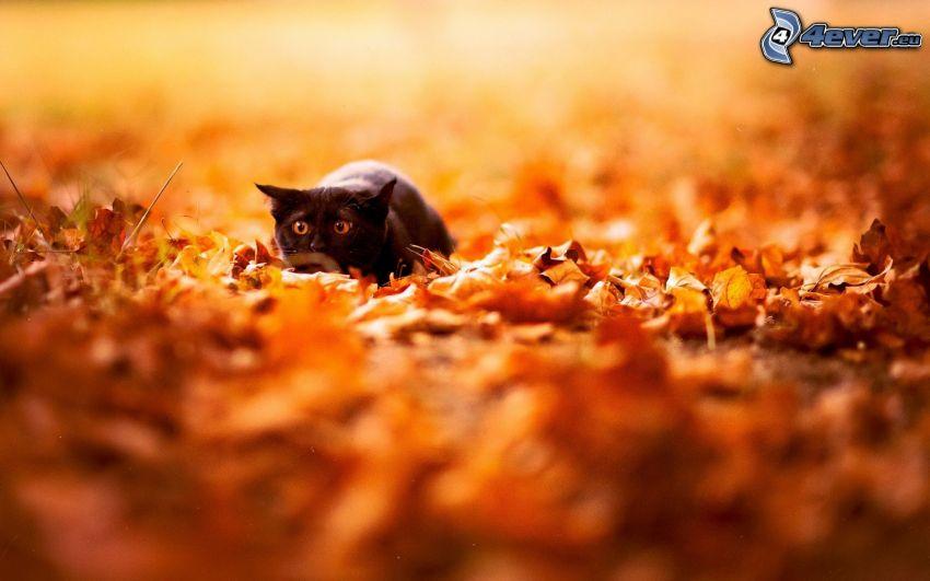 czarny kot, strach, opadnięte liście