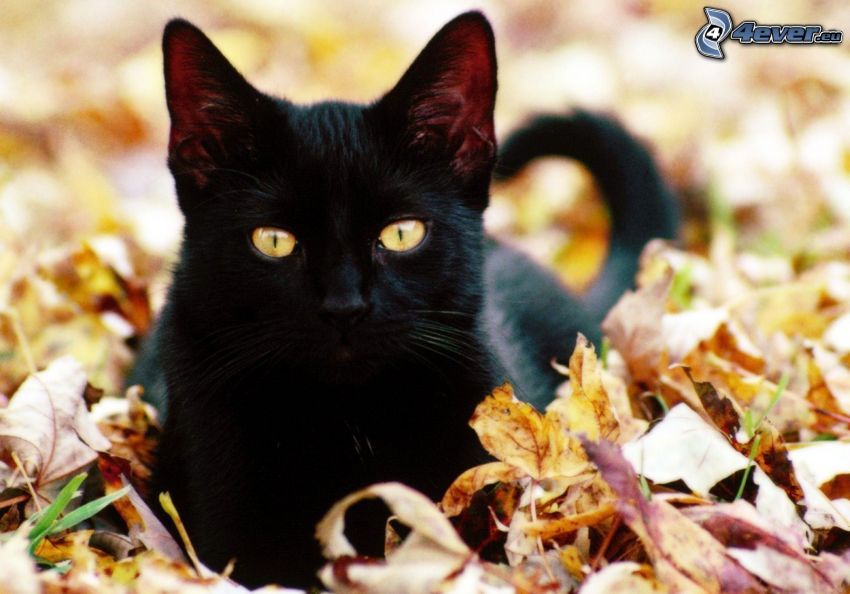 czarny kotek, opadnięte liście