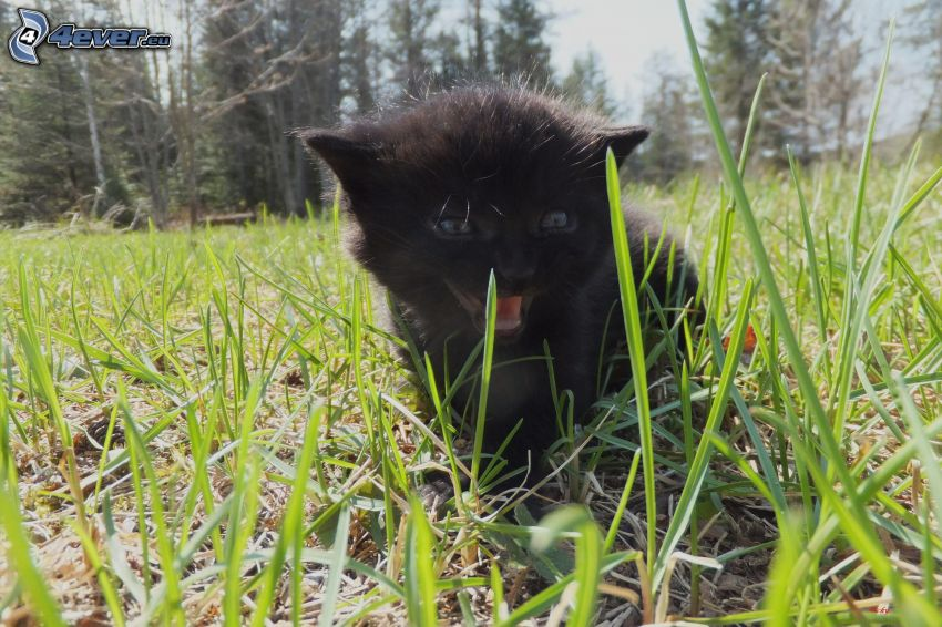 czarny kotek, trawa