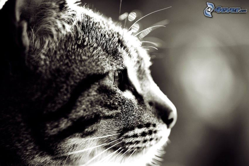 kocia głowa, czarno-białe zdjęcie