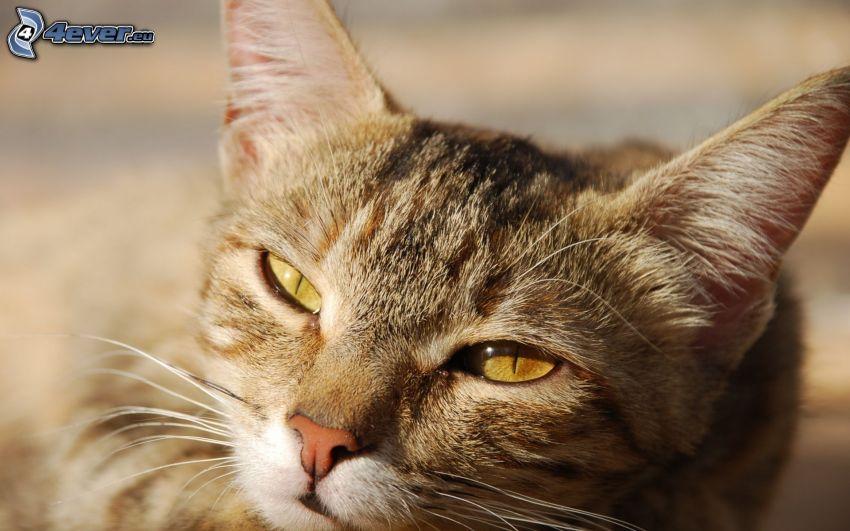 kocia głowa, leniwy kot
