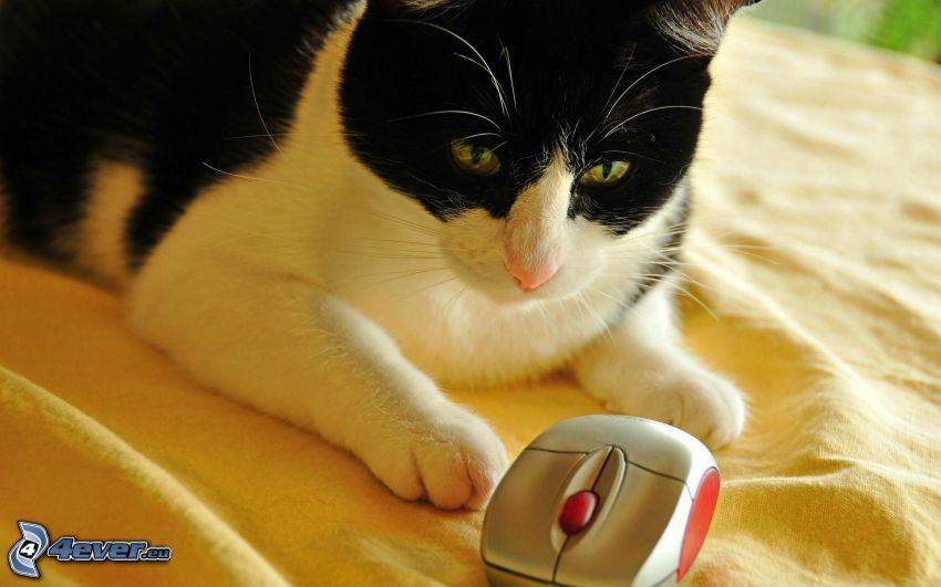 kot, mysz